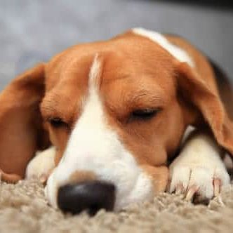 Pet Friendly Apartments Bluffton beagle