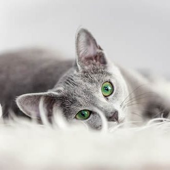 Pet Friendly Apartments Bluffton cat_gray